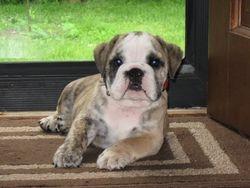 Tucker - English Bulldog Puppy