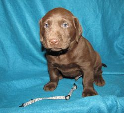 "5 Weeks Old - Blue Bones Male ""Dyson"""
