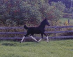 Tanner- 2002 TBxClyde weanling (SOLD)