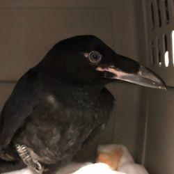 Juvenile Raven
