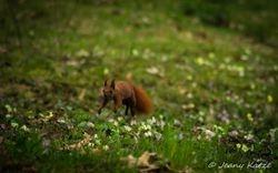 Jumping Squirrel / Springendes Eichhörnchen