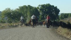 On the road to Britton Springs- a real cattle drive!