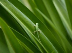 Another Green Anole