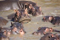 Bloat of Hippos - Masai Mara Game Reserve