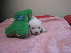 Girl Westie born 6/9/11