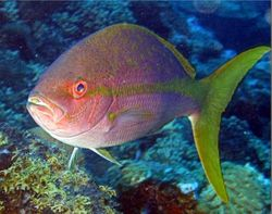 YELLOW-TAIL SNAPPER