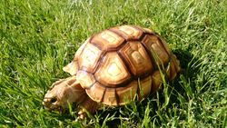 Sulcata chomps are the best