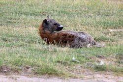 Hyena - Amboseli Game Reserve