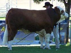 Junior  Bull judging