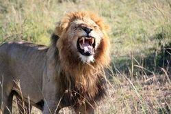 Male Lion - Masai Mara Game Reserve