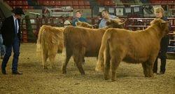 Intermediate Yearling Heifers
