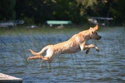 Bode the Dock Dog