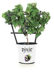 The World's 1st Dwarf Grape is here!
