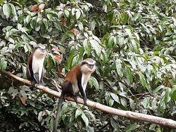Mona monkeys, Grand Etang NP (2019)
