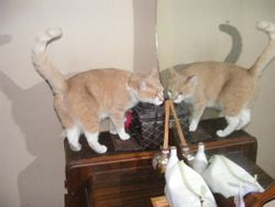 Oscar does not like the kitty on the other side of the mirror!!