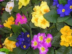 Primulas from Uncle Len