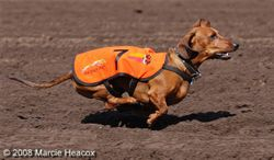 Wiener Dog Racing