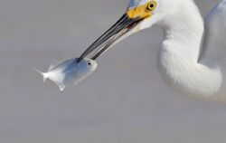 Snowy Egret and fish