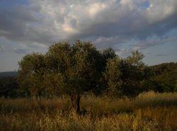 Olivier dans la campagne anianaise