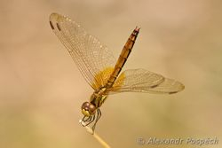 Dragonfly, East Kalimantan, Indonesia