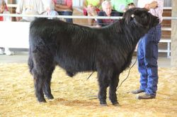 Champion Junior Bull calf