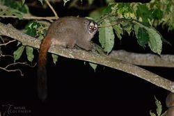 Grey-handed Night-monkeys