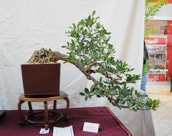 Roble (Tabebuia heterophylla)