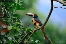 Collared Aracari at Faunal Reserve in Minca.