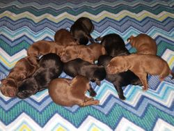 The Litter Of Puppies.