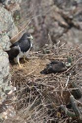 Aguia-chilena (Geranoaetus melanoleucus)
