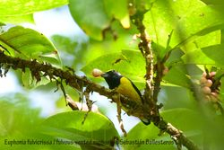 Fulvous-vented euphonia