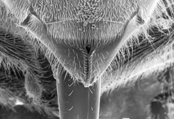 Honeybee Mouthparts