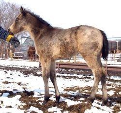 2008 Buckskin colt.