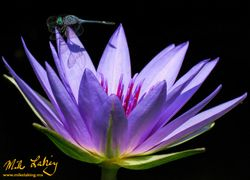 Purple Lily with Dragonfly