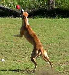 Ginger catching the ball