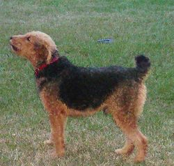 Gus - Airedale Terrier