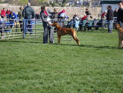 In the ring at the Hound Assoc.