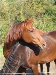 Hush Dottie-will be  bred to Douwke G 2013