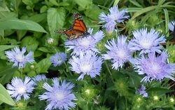 Monarch on Stokesia