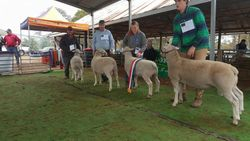 Hopea 5058 Crowned Champion ram