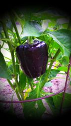 Purple Beauty Heirloom Pepper