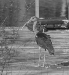 Ibis on the dock