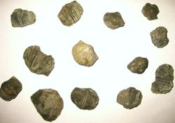 Brachiopods found on our Kentucky Fossil Collecting Weekends.