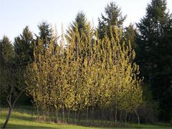 Hybrid Cottonwood by Steve Webster