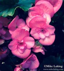 Pink Begonia's