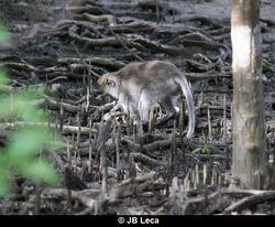 Crab-foraging (Teluk Terima)