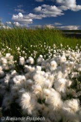 Cotton grass, Finland