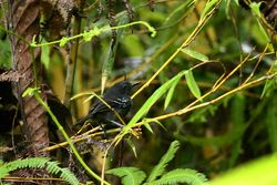 Dot-winged antbird