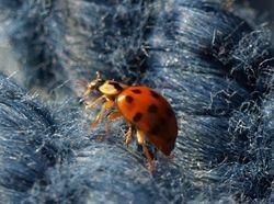 Lotsaspotted ladybird!