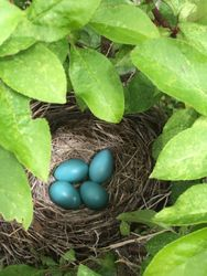 Robin Nest, May 18th